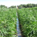 Photo of hemp being irrigated