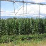 Photo of hemp being irrigated by a pivot
