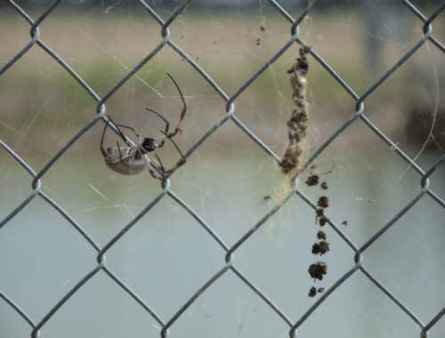 Photo of a brown widow spider in a web on a chainlink fence
