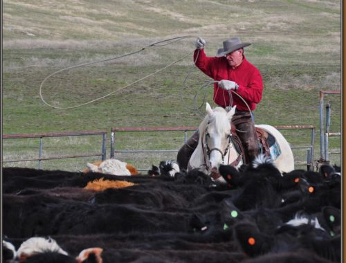 Governor Butch Otter rounding up cattle