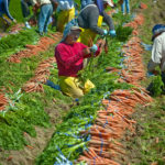 Carrots being harvested and bundled by farm workers in the field.