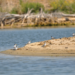 Photo of piping plover birds on a sandbar
